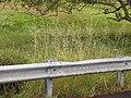 Starr-110502-5263-Bromus diandrus-seeding habit-Kula-Maui (24975900222).jpg