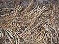 Starr-120620-7457-Cenchrus purpureus-green bana grass canes on side-Kula Agriculture Station-Maui (24518871273).jpg
