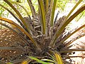 Starr-120702-7933-Elaeis guineensis-flowers and fruit-USDA Plant Materials Center-Molokai (24890676130).jpg