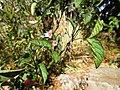Starr-171110-1059-Solanum americanum-flowers leaves-Leleiwi Front Country Haleakala National Park-Maui (38767695662).jpg