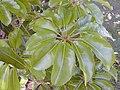 Starr 010425-0061 Schefflera actinophylla.jpg