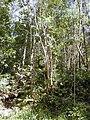 Starr 020501-0035 Cinchona pubescens.jpg