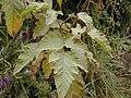 Starr 021126-0060 Rubus hawaiensis.jpg