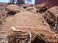Starr 030731-0047 Eragrostis variabilis.jpg