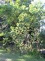 Starr 031108-0240 Leucaena leucocephala.jpg