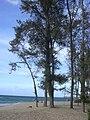 Starr 040805-0012 Casuarina equisetifolia.jpg