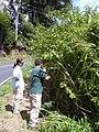 Starr 041018-0032 Solanum torvum.jpg