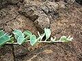 Starr 041029-0302 Jacquemontia ovalifolia subsp. sandwicensis.jpg
