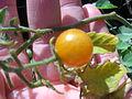 Starr 060406-9267 Solanum lycopersicum var. cerasiforme.jpg