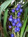 Starr 060826-8657 Dianella sandwicensis.jpg