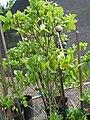 Starr 061108-9765 Gardenia brighamii.jpg
