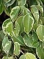 Starr 070123-3739 Ficus benjamina.jpg