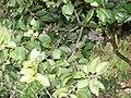 Starr 070404-6672 Diospyros sandwicensis.jpg