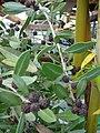 Starr 070906-8496 Conocarpus erectus.jpg