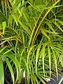 Starr 080117-1864 Chrysalidocarpus lutescens.jpg