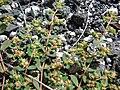 Starr 080602-5402 Chamaesyce maculata.jpg