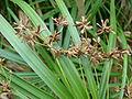 Starr 080610-8190 Cyperus involucratus.jpg