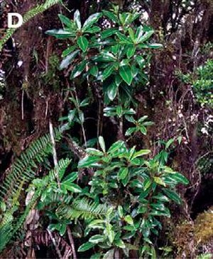 Drimys granadensis - Stem shoots and leaves - Drimys granadensis