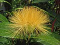 Stifftia chrysantha -日本大阪鮮花競放館 Osaka Sakuya Konohana Kan, Japan- (26818954257).jpg