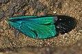 Stream Glory male wing details from Valparai Anamalai hills DSC 6582.JPG