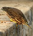 Striated Heron best Butorides striata by Dr. Raju Kasambe (4).jpg