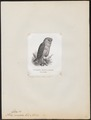 Strix candida - 1872 - Print - Iconographia Zoologica - Special Collections University of Amsterdam - UBA01 IZ18400243.tif