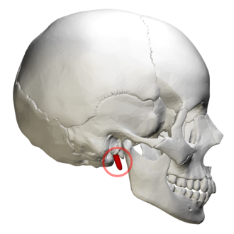 Temporal styloid process - Right side of the skull. Styloid process shown in red