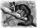 Sugar squirrel (Brehm's Tierleben, Chicago, 1895).png