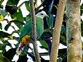 Sulawesi bn fruit dove trsr DSCN0815 v1.JPG