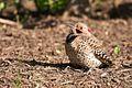 Sunbathing Woodpecker (4536476669).jpg