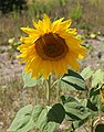Sunflower head 2015 G2.jpg