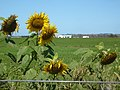 Sunflowers on Coffee Creek.JPG
