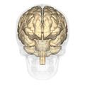 Supramarginal gyrus - anterior view.png