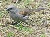 Swainsons-sparrow.jpg