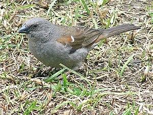 Swainson's sparrow - In Debre Berhan, Ethiopia