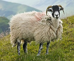 Brebis swaledale dans le Lake District