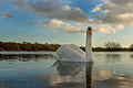 Swan at Ashby ville in Scunthorpe.jpg