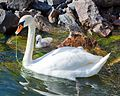 Swan with chicks - panoramio.jpg