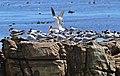 Swift Terns (Thalasseus bergii) (32949323055).jpg