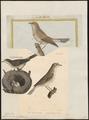 Sylvia hortensis - 1700-1880 - Print - Iconographia Zoologica - Special Collections University of Amsterdam - UBA01 IZ16200179.tif