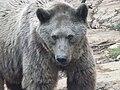 Syrian brown bear hybrid 08.jpg
