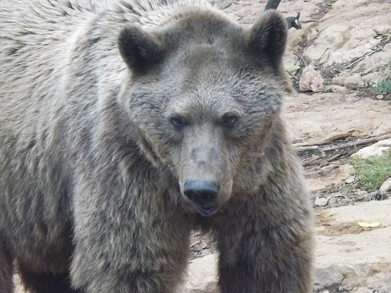 Featured video: Rare Syrian Brown Bear caught on camera