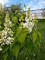 Syringa 5 (Poltava Botanical garden).jpg