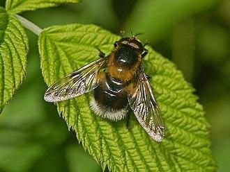 Volucella bombylans - Image: Syrphidae Volucella bombylans