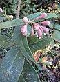 Syzygium Munronii 08.JPG