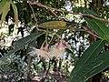 Syzygium munronii 41.jpg