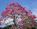 Tabebuia heptaphylla (Brasília).jpg