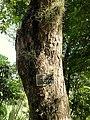 Tabebuia heterophylla - San Juan Botanical Garden - DSC07055.JPG