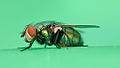 Tachinid fly (6752928665).jpg