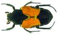 Taeniodera nigrithorax Miksic,1972 (8396869263).png